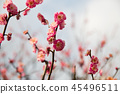 close up of beautiful sakura tree blossoms 45496511