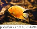 aquarium fish goldfish 45504498