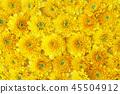 Beautiful dandelion background, yellow flowers 45504912