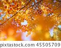 楓樹 紅楓 楓葉 45505709