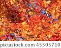 楓樹 紅楓 楓葉 45505710