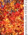 楓樹 紅楓 楓葉 45505711