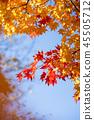 楓樹 紅楓 楓葉 45505712
