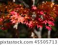 楓樹 紅楓 楓葉 45505713