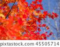 楓樹 紅楓 楓葉 45505714