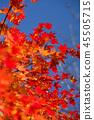 楓樹 紅楓 楓葉 45505715