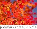 楓樹 紅楓 楓葉 45505716