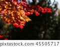 楓樹 紅楓 楓葉 45505717