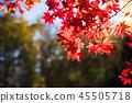 楓樹 紅楓 楓葉 45505718