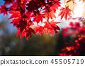 楓樹 紅楓 楓葉 45505719