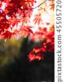 楓樹 紅楓 楓葉 45505720