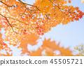 楓樹 紅楓 楓葉 45505721