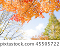 楓樹 紅楓 楓葉 45505722