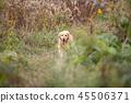 old golden retriever dog 45506371
