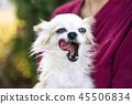 old chihuahua dog 45506834