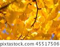 銀杏 銀杏樹 秋葉 45517506