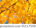 銀杏 銀杏樹 秋葉 45517508
