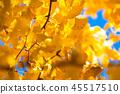 銀杏 銀杏樹 秋葉 45517510