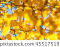 銀杏 銀杏樹 秋葉 45517519