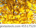 銀杏 銀杏樹 秋葉 45517520