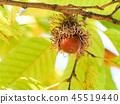 참나무의 열매 45519440