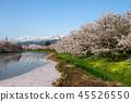벚꽃, 니가타 현, 니이가타 현 45526550