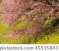 油菜花 油菜 強奸的花朵 45535843