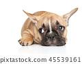 French, bulldog, animals 45539161