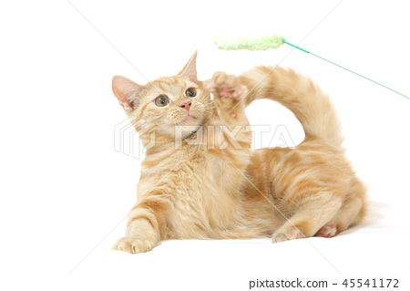 A short-footed puppet kitten playing with a cat litter 45541172