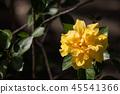 Yellow Hibiscus Flower in black dard background 45541366
