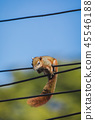 Squirrel on a wire. 45546188