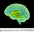 大腦 頭腦 x光 45549680
