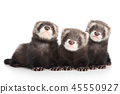 Three polecat puppy posing on white background 45550927