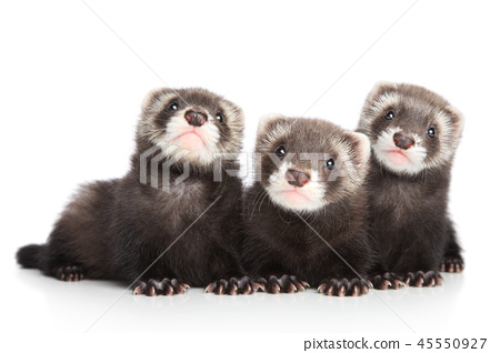 Three polecat puppy posing on white background 45550927