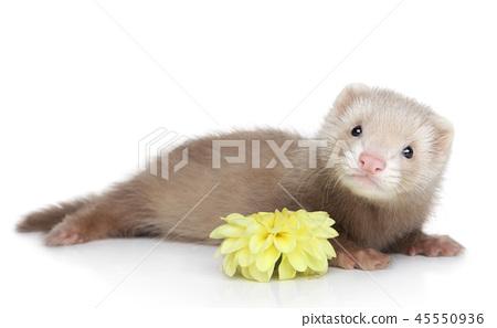 Ferret puppy on white background 45550936