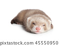 Ferret sleeps sweetly on white background 45550950