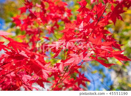 日本美麗楓葉旅行背景楓葉楓葉楓葉秋葉楓樹 45551190