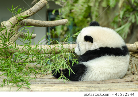 giant panda eating green bamboo leaves 45552544