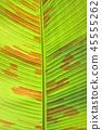 banana leaf 45555262