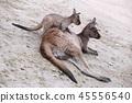 Australia nature landscape morning glow tasmanian devil koala kangaroo 45556540