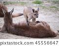 캥거루, 동물, 부모와 자식 45556647