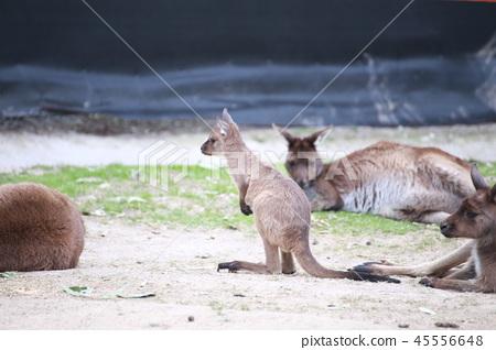 Australia Kangaroo Overseas Meerkat 45556648