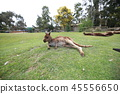 Australia Kangaroo Overseas Meerkat 45556650