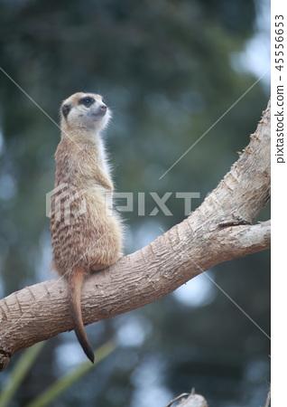 Australia Kangaroo Overseas Meerkat 45556653