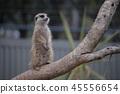 Australia Kangaroo Overseas Meerkat 45556654