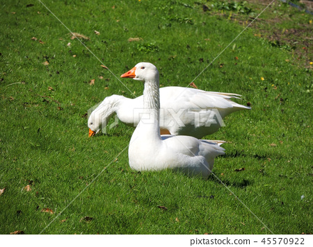 Legart Danish domestic geese 45570922