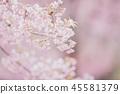 Cherry blossom flowers , sakura flowers in pink background vintage style 45581379