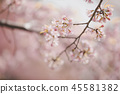 Cherry blossom flowers , sakura flowers in pink background vintage style 45581382