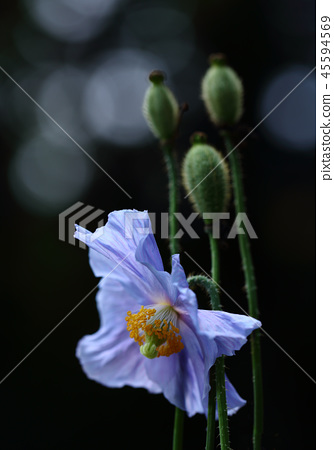 喜馬拉雅山的罌粟 45594569