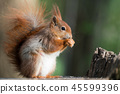 Squirrel in the forest 45599396